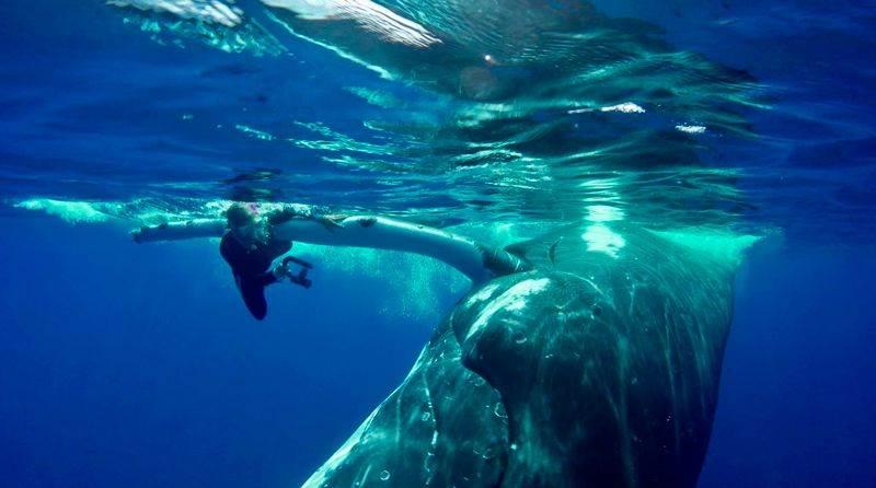 La ballena trata de proteger a la bióloga del tiburón con su aleta