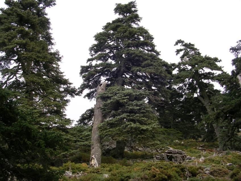 Un pinsapo en la Cañada del Cuerno. Foto: Wikimedia Commons