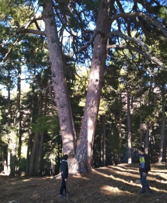 Javier, un amante de la naturaleza, observa un pino centenario en el Parque Natural de la Sierra de Cazorla, Segura y las Villas