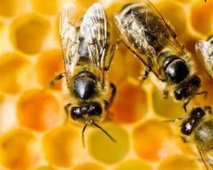 Las abejas desempeñan una labor vital en la naturaleza, conservarlas es tarea de todos. Foto: Greenpeace