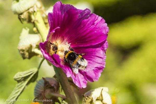 Una abeja polinizando una flor. Foto: Greenpeace