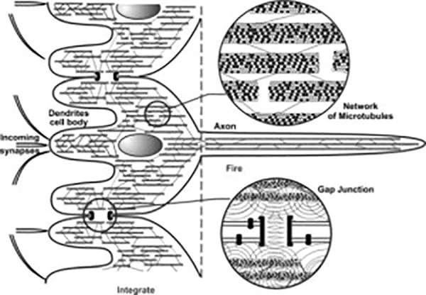 Hameroff y Penrose proponen que los microtúbulos, las unidades más pequeñas del citoesqueleto, actúan como canales para la transferencia de información cuántica responsable de la consciencia