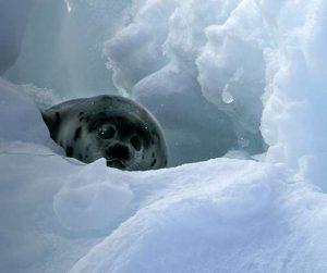 La India prohíbe el uso y comercialización de la piel de foca