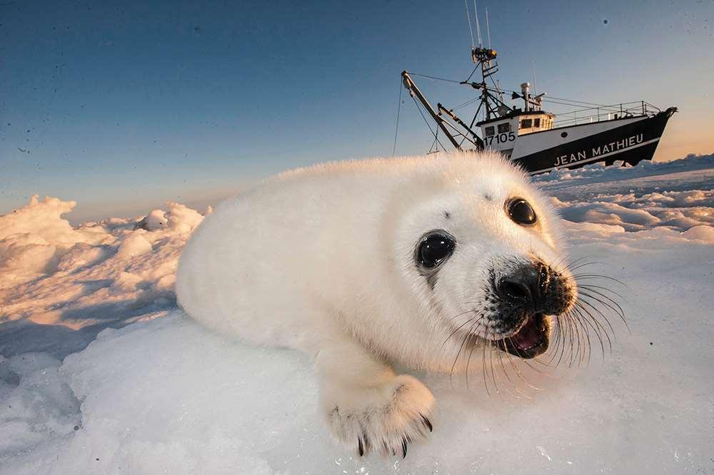Ciudades como San Francisco o Londres han prohibido la venta de pieles de foca