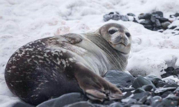 La India prohíbe el uso y comercialización de pieles de foca