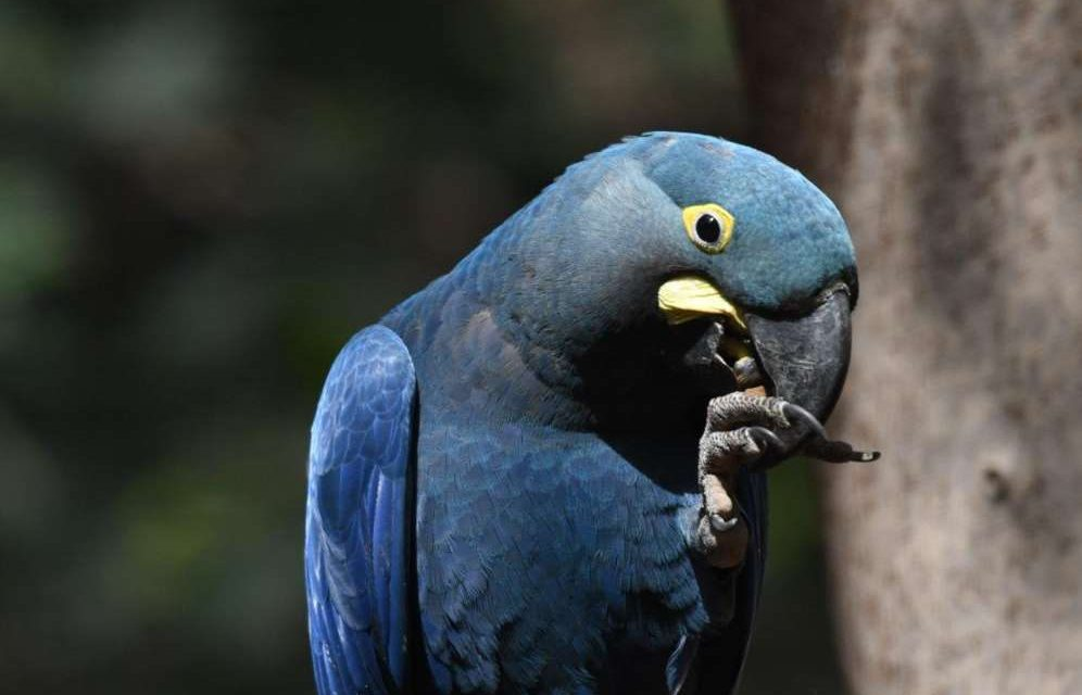Loro Parque Fundación salva a 9 especies de loro de la extinción
