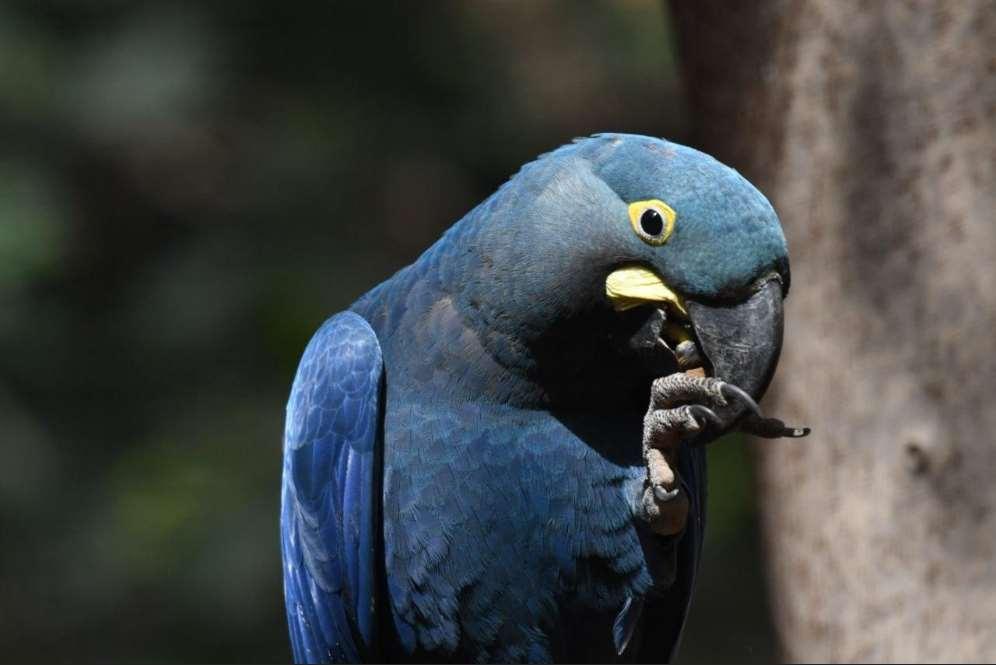 El Guacamayo de Lear, oriundo del nordeste de Brasil, ha sido históricamente víctima de caza, saqueos, destrucción del hábitat y presiones de diferentes tipos en una zona en los que las condiciones son extremas