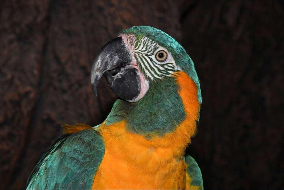 El Guacamayo Barbazul es endémico de las amplias llanuras del Beni en Bolivia, una auténtica joya de la naturaleza