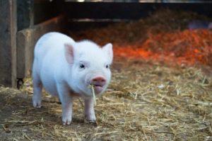 La mayor parte de esta reducción de consumo de carne en China apunta a la carne de cerdo