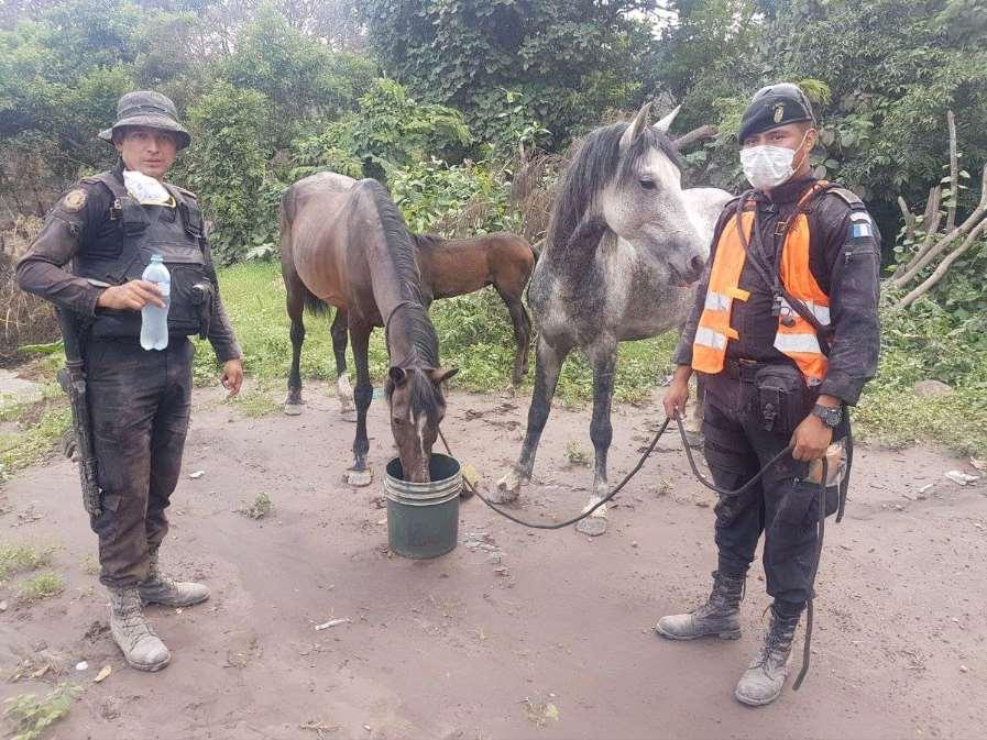 Tan pronto las áreas afectadas sean seguras para viajar, brindarán ayuda específica a vacas, caballos y cerdos