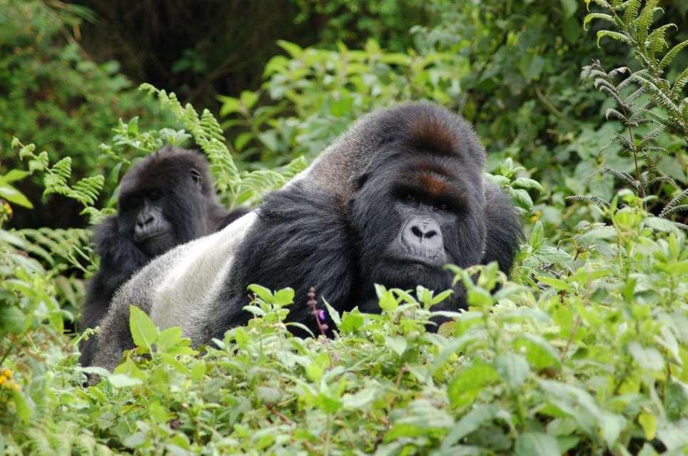 La población mundial de gorilas ha aumentado hasta el millar de ejemplares. Foto cortesía de Joachim Huber