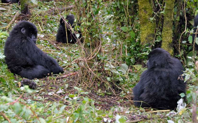Los gorilas de montaña viven entre la República Democrática del Congo, Ruanda y Uganda. Foto de Dave Proffer