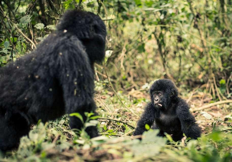 Aumenta la población de gorilas de montaña a más de 1.000 ejemplares