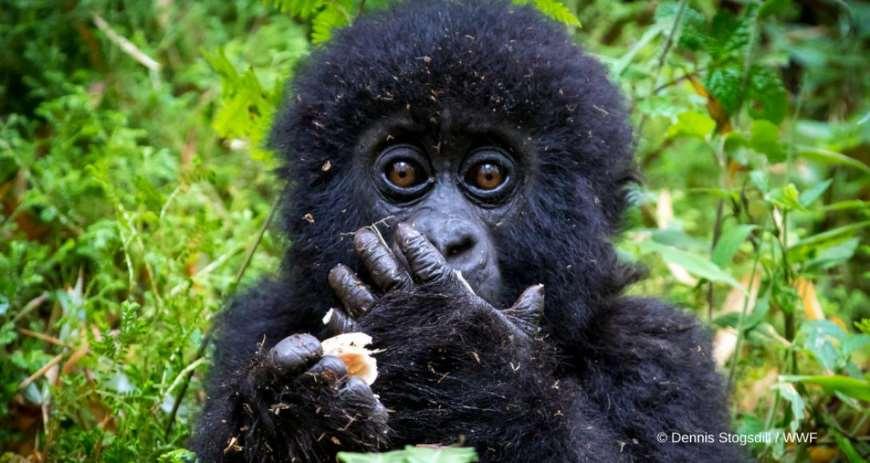 Los gorilas de montaña se ven amenazados por la caza furtiva y la degradación del medio ambiente. Foto cortesía de Dennis Stogsdill / WWF