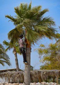 Para fabricar esta nueva pantalla acústica ecológica se ha utilizado materia prima de residuos generados en la poda de jardinería que procede, particularmente, de hojas de palmera
