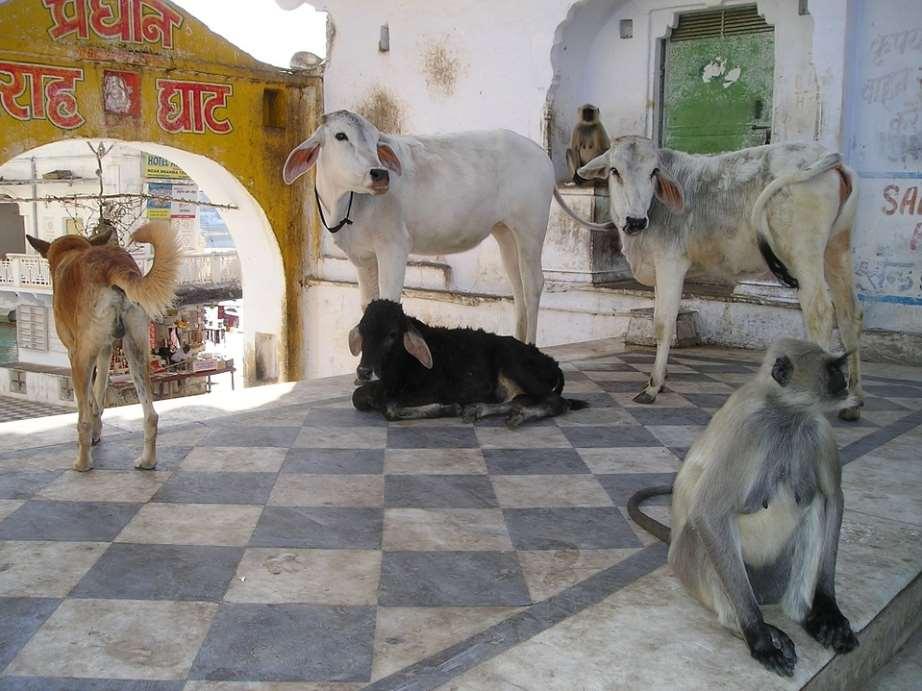 En Uttarakhand (India) se ha decididorecientementeconsiderar a los animales como personas jurídicas