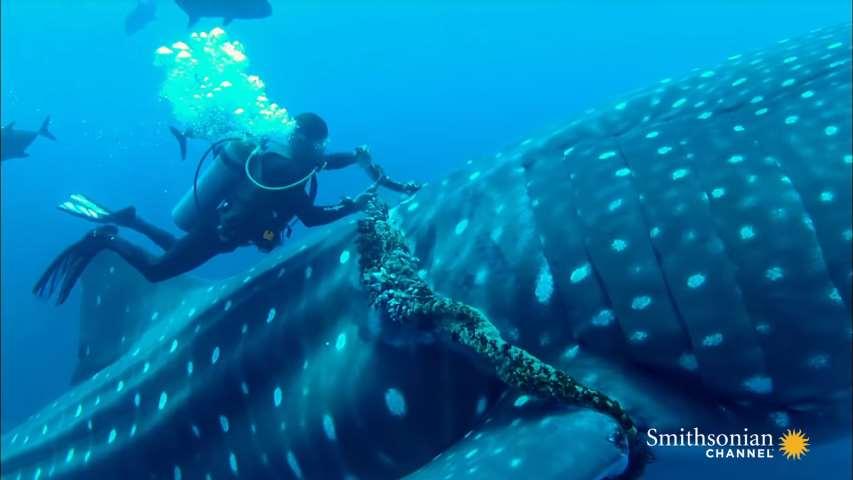 Un buzo corta un trozo de soga que tenía un tiburón ballena anclada a su cuerpo