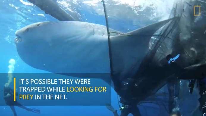 Los cuatro tiburones ballena quedaron atrapados en la red al buscar presas en su interior