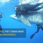 Rescatan a cuatro crías de tiburón ballena atrapadas en redes de pesca