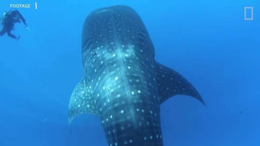 El tiburón ballena, oRhincodon typus, esel pez existente más grande del mundo