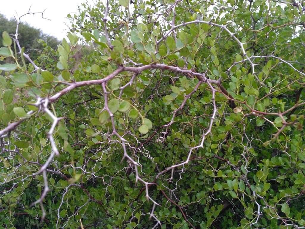 La desnaturalización del paisaje natural y la fragmentación del hábitat se ha visto reducida drásticamente en el número de plantas de Azufaifo y especies asociadas