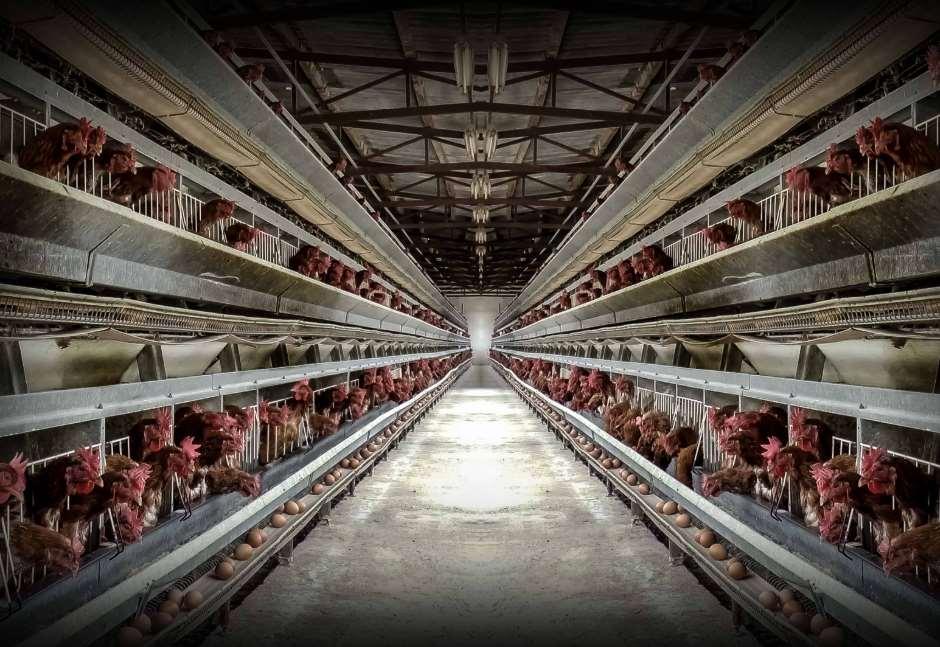 """""""End The Cage Age"""" propone poner fin a las jaulas de la ganadería europea"""