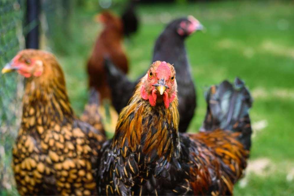 El 94% de las personas en Europa piensan que proteger el bienestar de los animales en las granjas es importante