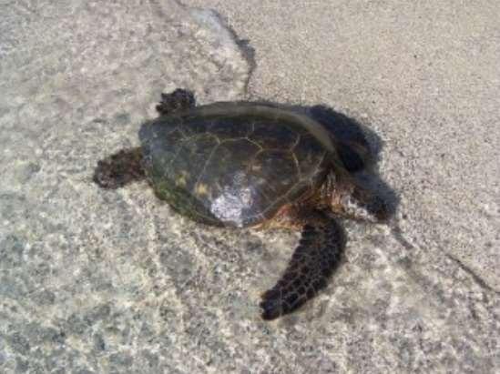 Se trata del primer estudio genético del proyecto de reintroducción de la tortuga verde