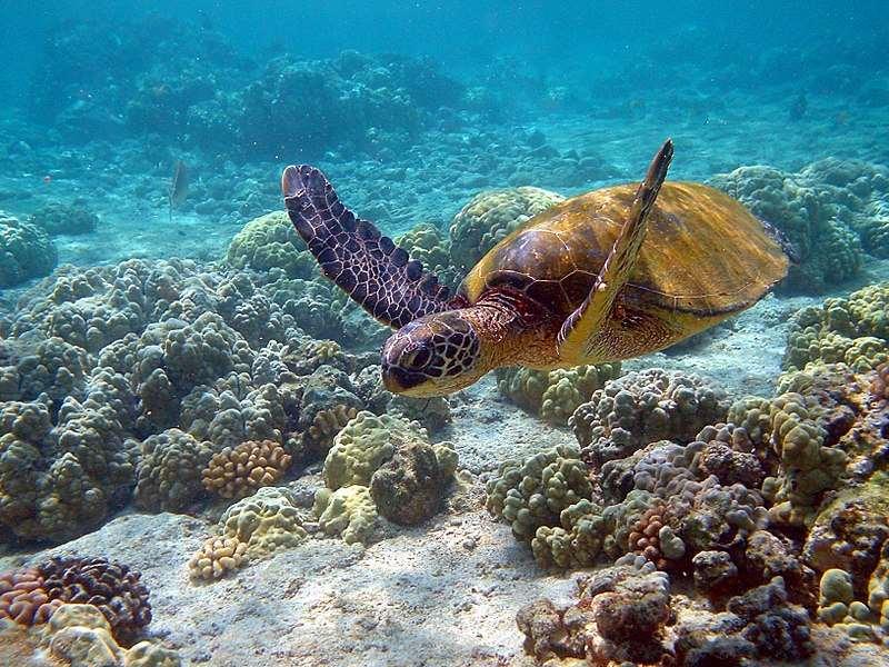 Los estudios de marcado más actuales indican que en las islas Caimán existe una población de entre 100 y 150 hembras adultasde tortuga verde reproductoras