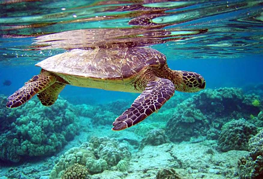 La tortuga verde (Chelonia mydas) es una especie migratoria de distribución global en latitudes tropicales y subtropicales