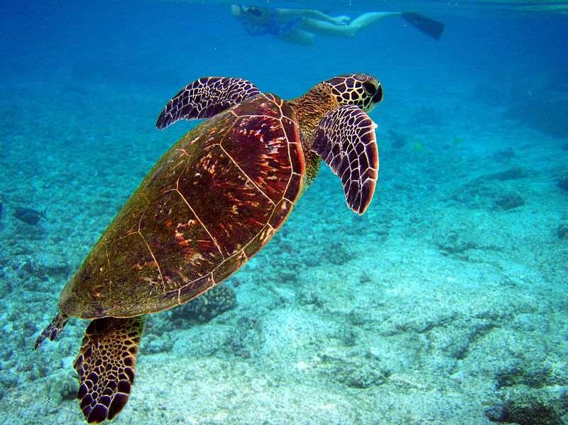 Para poder recuperar esta población en peligro, se impulsó un programa de reintroducción de la especie con individuos de la Granja de Tortugas de las Islas Caimán