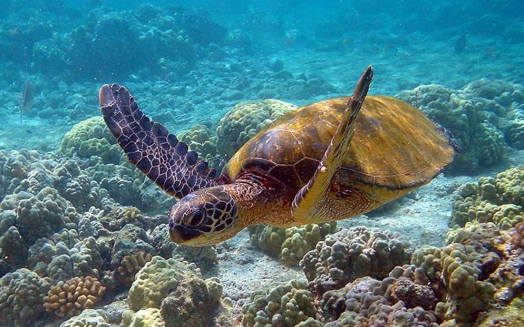 Reintroducen con éxito a la tortuga verde en las islas Caimán