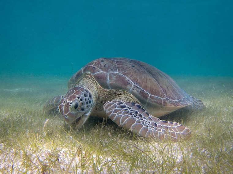 La población salvaje de tortuga verde mantiene una estrecha relación genética con los individuos de la Cayman Turtle Farm (CTF)
