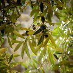 SUSTAINOLIVE: Proyecto para la mejora de la sostenibilidad del olivar