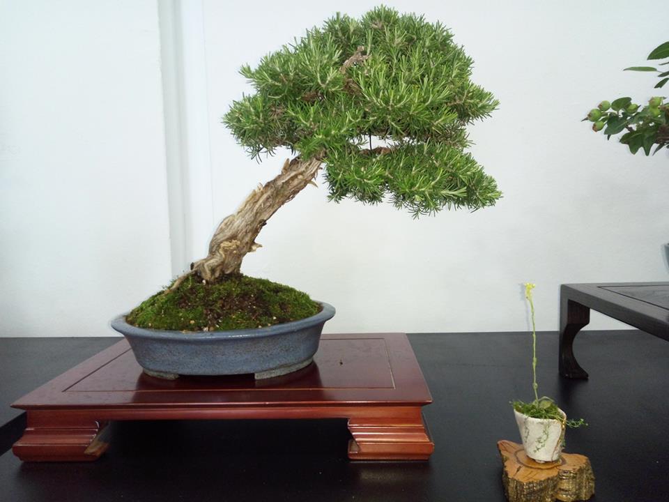 asociacion de amigos del bonsai de benalmadena