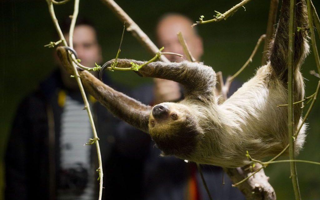 Nace en el Biodomo del Parque de las Ciencias la primera cría de perezoso