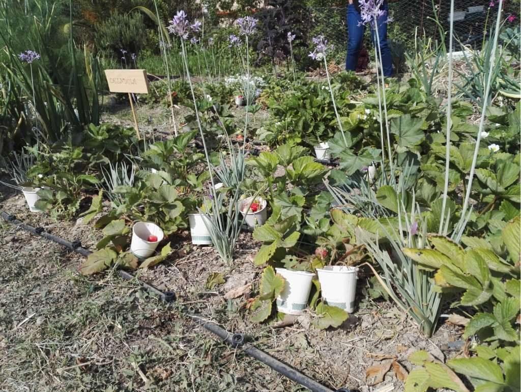 """Un ejemplo de estas PlaM es el la Tulbhagia, conocida popularmente como """"ajo social"""", una planta cuya flor, de color morado"""