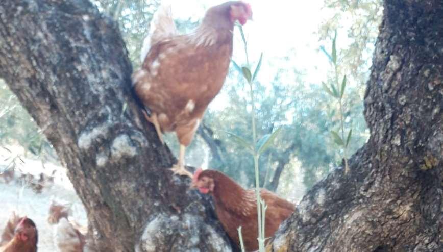 Cuando Víctor vende los huevos de sus gallinas camperas, realmente está vendiendo huevos de gallinas camperas