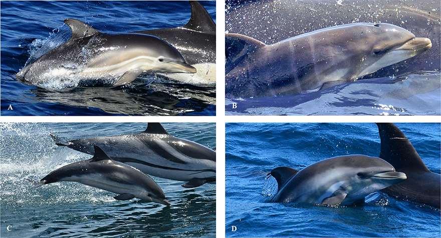 Características de coloración mostradas por D. delphis, T. truncatus, S. coeruleoalba y los pequeños mamíferos híbridos. Fuente: US