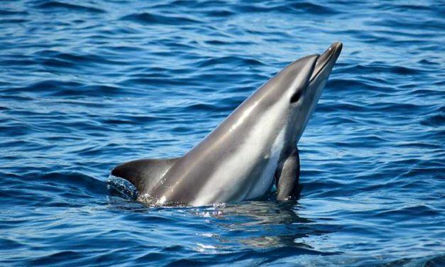 Hallan en Algeciras el primer delfín híbrido visto en alta mar