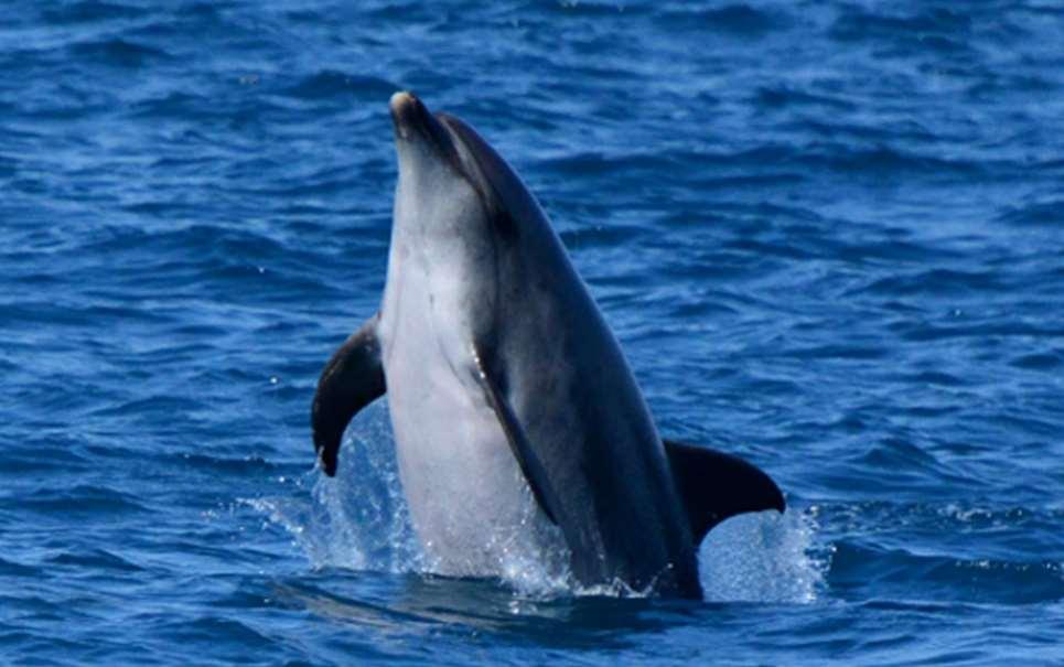 La Bahía de Algeciras es uno de los enclaves en España más importantes, sensibles y vulnerables para la observación controlada cerca de la costa de delfines comunes y listados