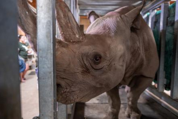 La AZA está haciendo un gran trabajo para la conservación del rinoceronte negro