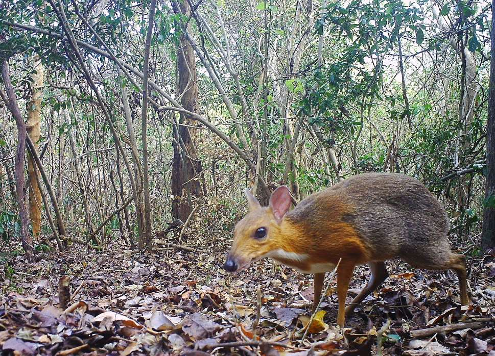 Lograron tomar más de200 fotografíasdel ciervo ratón