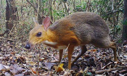 Confirman que el ciervo ratón de Vietnam no se ha extinguido