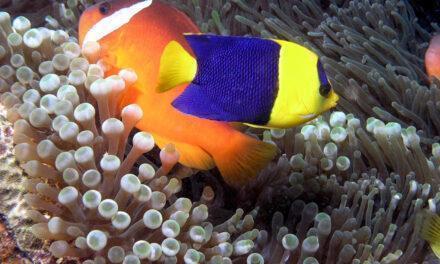 Descubren crías de peces híbridos tropicales más coloridas que sus progenitores