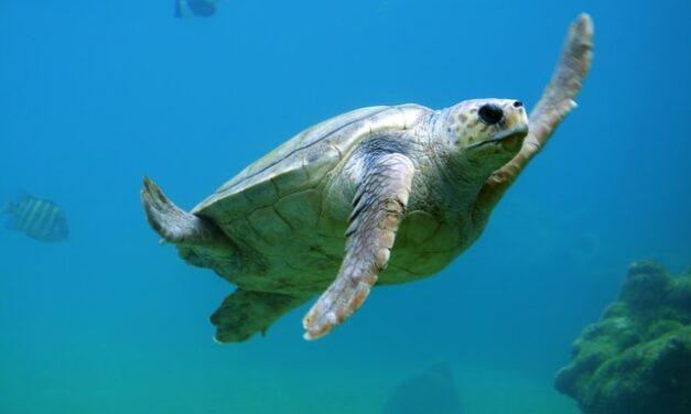 Liberan a una tortuga boba en el Cabo de Gata